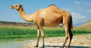Camel Sighting