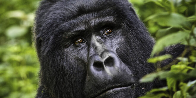 What it Means to See a Gorilla